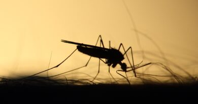 西尼羅毒蚊驚現萬錦 Mosquitoes carrying West Nile virus found in Markham